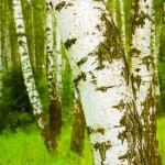 Аллергия на пыльцу березы: симптомы и лечение