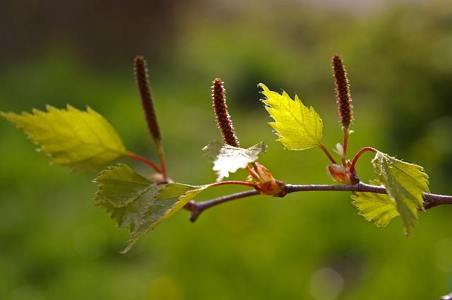 Аллергия на пыльцу березы? Выход есть!