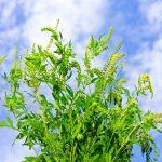 Аллергия на амброзию — симптомы, факторы, лечение аллергии на амброзию